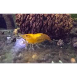 Orange Sakura Shrimp