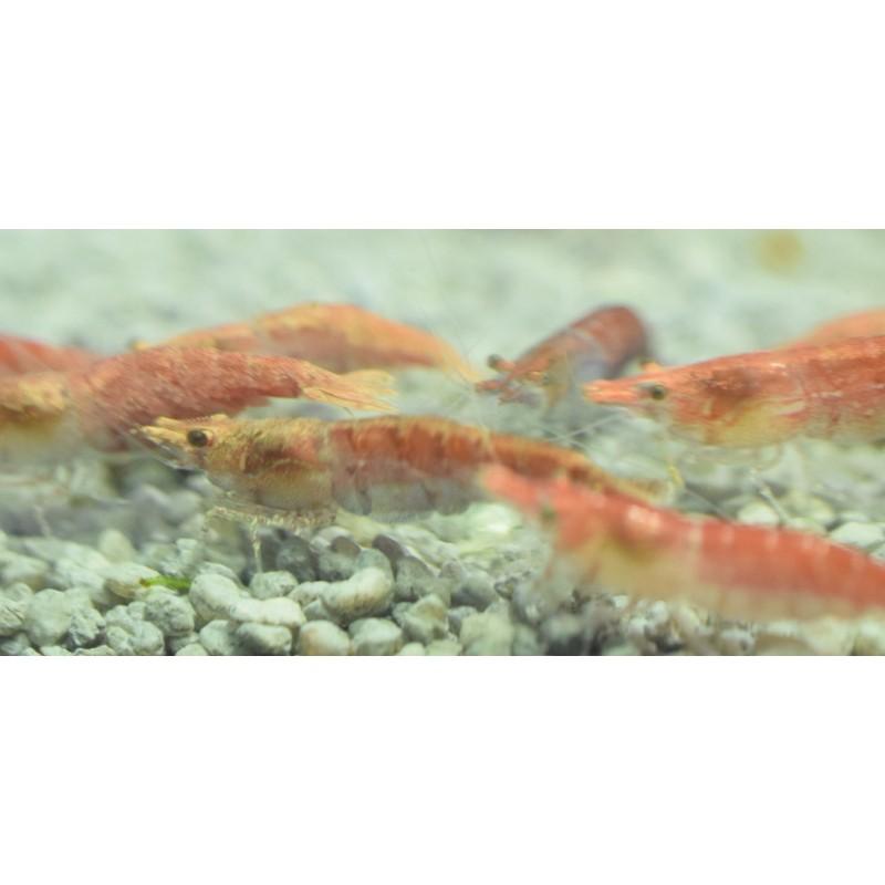 10x Red Cherry Shrimp (Neocaridina davidi) - Pro Shrimp UK