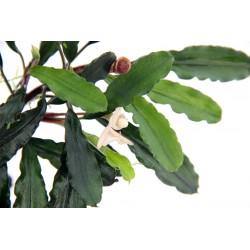 Bucephalandra 'Wavy Leaf' Dennerle