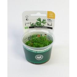 Ranunculus inundatus Dennerle plant-it! InVitro Plant