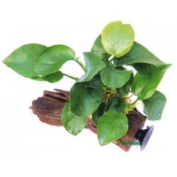 Anubias barteri on Driftwood with suction cup