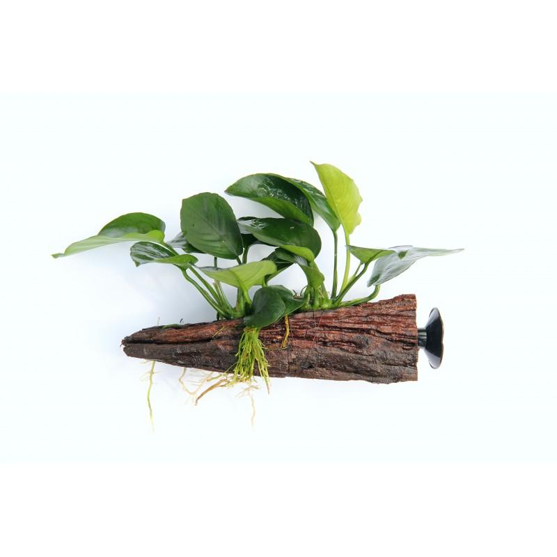 Aquarium Plants On Driftwood About Driftwood String