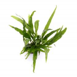 Microsorum pteropus Narrow Leaf Java Fern Dennerle