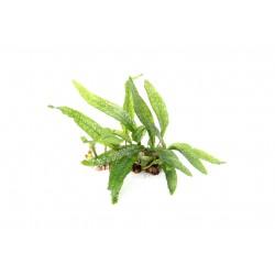 Java Fern Microsorum pteropus Philippine Dennerle