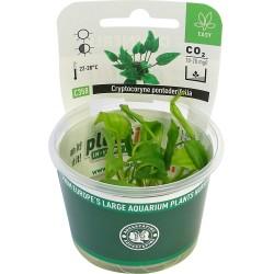 Cryptocoryne pontederifolia (in vitro) Dennerle plant-it!
