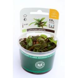 Cryptocoryne x purpurea (in-vitro) Dennerle plant-it!