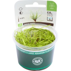 Juncus repens (invitro) Dennerle plant-it!