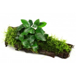 Dennerle Anubias on Mossy Driftwood