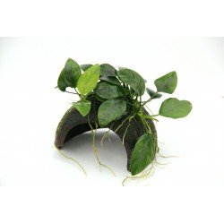 Dennerle Coco Cave with Anubias nana