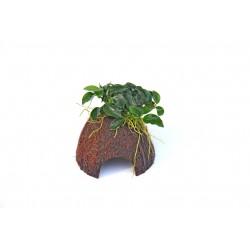 Dennerle Nano Coco Cave Anubias Bonsai