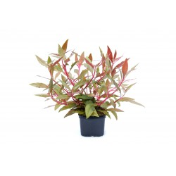 Dennerle XXL Alternanthera reineckii Red