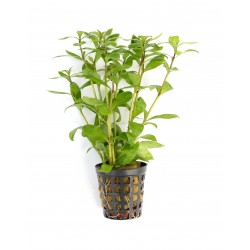 Hygrophila polysperma Indian Waterweed Dennerle