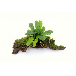 Bucephalandra Wavy Leaf on Root with Moss