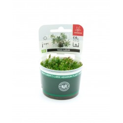 Rotala wallichii Dennerle Plant It (in vitro)