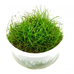 Tropica Eleocharis acicularis mini 1-2-GROW (Dwarf Hairgrass)