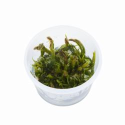 Tropica Fontinalis antipyretica 1-2-GROW