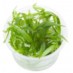 Tropica Helanthium Quadricostatus 1-2-GROW