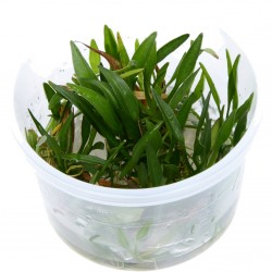 Tropica Helanthium tenellum Green 1-2-GROW