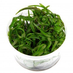 Tropica Heteranthera zosterifolia 1-2-GROW