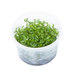 Tropica Proserpinaca palustris Cuba 1-2-GROW