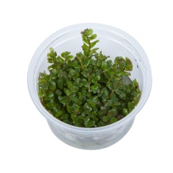 Tropica Rotala rotundifolia 1-2-GROW