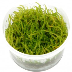 Tropica Vesicularia ferriei Weeping Moss 1-2-GROW