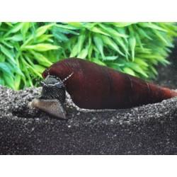 Black Devil Lava Snail (Faunus arta)