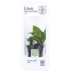 Anubias barteri Nana Tropica (Single Package)