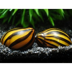 Zebra Nerite Snail (Vittina coromandeliana)