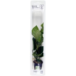 Anubias barteri caladiifolia Tropica (Single Package)