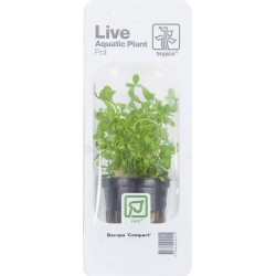 Bacopa 'Compact' Tropica (Single Package)