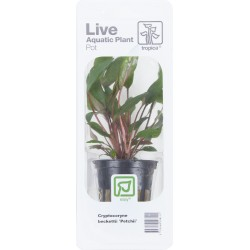 Tropica Cryptocoryne beckettii 'Petchii' (Single Package)