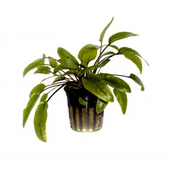 Tropica Cryptocoryne wendtii 'Green' (Single Package)