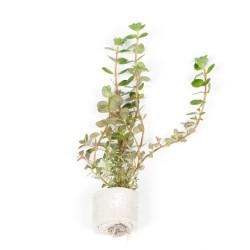 Rotala rotundifolia Tropica (Mini Pot)