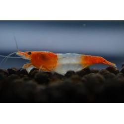 10x Orange Rili Shrimp