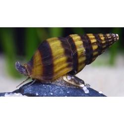 Assassin Snail (Clea helena)