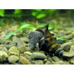 Brotia Snail