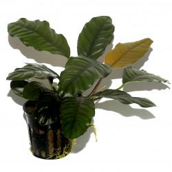 Anubias barteri Coffeefolia Tropica