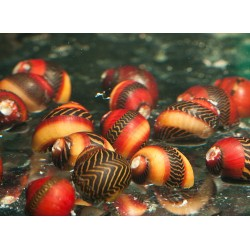 Red Nerite Snail (Vittina waigiensis)