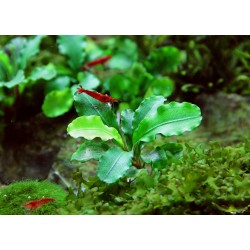 Bucephalandra spec. Broad Wavy Dennerle