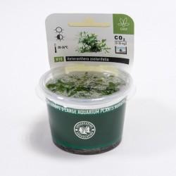 Heteranthera zosterifolia (in-vitro) Dennerle plant-it!