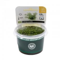 Juncus repens (in-vitro) Dennerle plant-it!