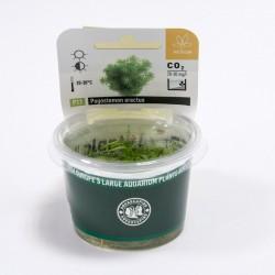Pogostemon erectus (in-vitro) Dennerle plant-it!