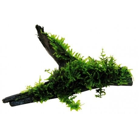 Aquafleur Java Moss on Driftwood