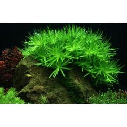 Heteranthera zosterifolia AQUADIP In-Vitro