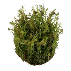 Rotala wallichii AQUADIP In-Vitro