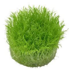 Utricularia graminifolia AQUADIP In-Vitro