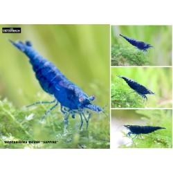 Blue Sapphire Shrimp