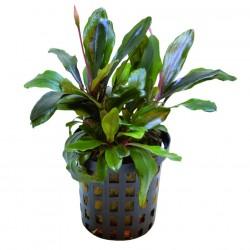 Bucephalandra Theia Green AQUADIP