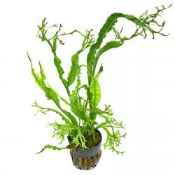 Microsorum pteropus Twisted Leaf Aquadip Java Fern
